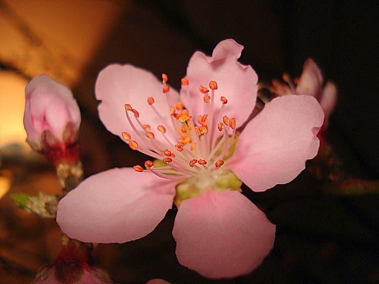 Hoa đào năm cánh